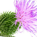 milk-thistle-thumb